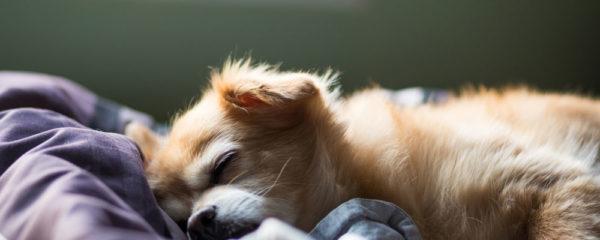 petit chien en train de dormir